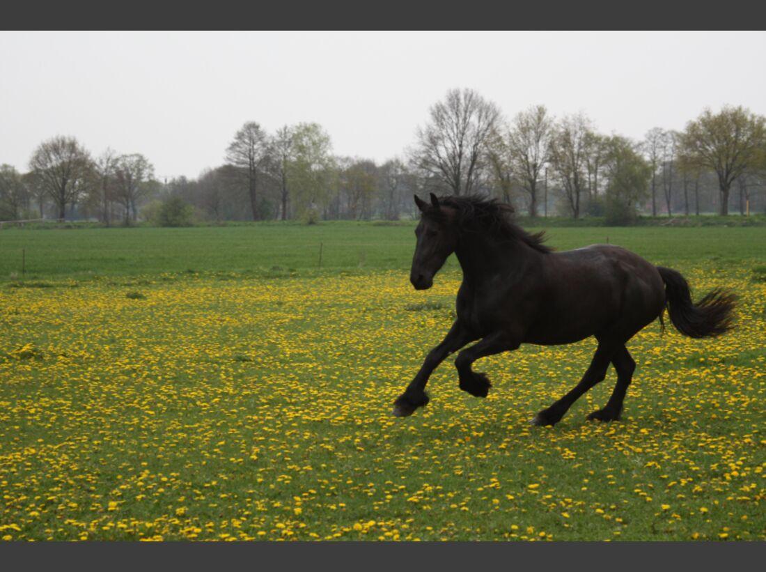 AL CEWE Fotowettbewerb 2013 Leserfotos Manuela Schippers - Lesertext: Auf dem ersten Bild ist meine Friesenstute Amy zu sehen, die ich selber gezüchtet habe. Auf dem Bild 2 ist mein erstes Pferd Liena zu sehen, mit der ich im Pferdeurlaub in Dohren war be