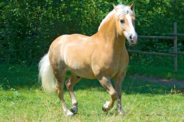 CAV Dickes Pferd Haflinger Teaser