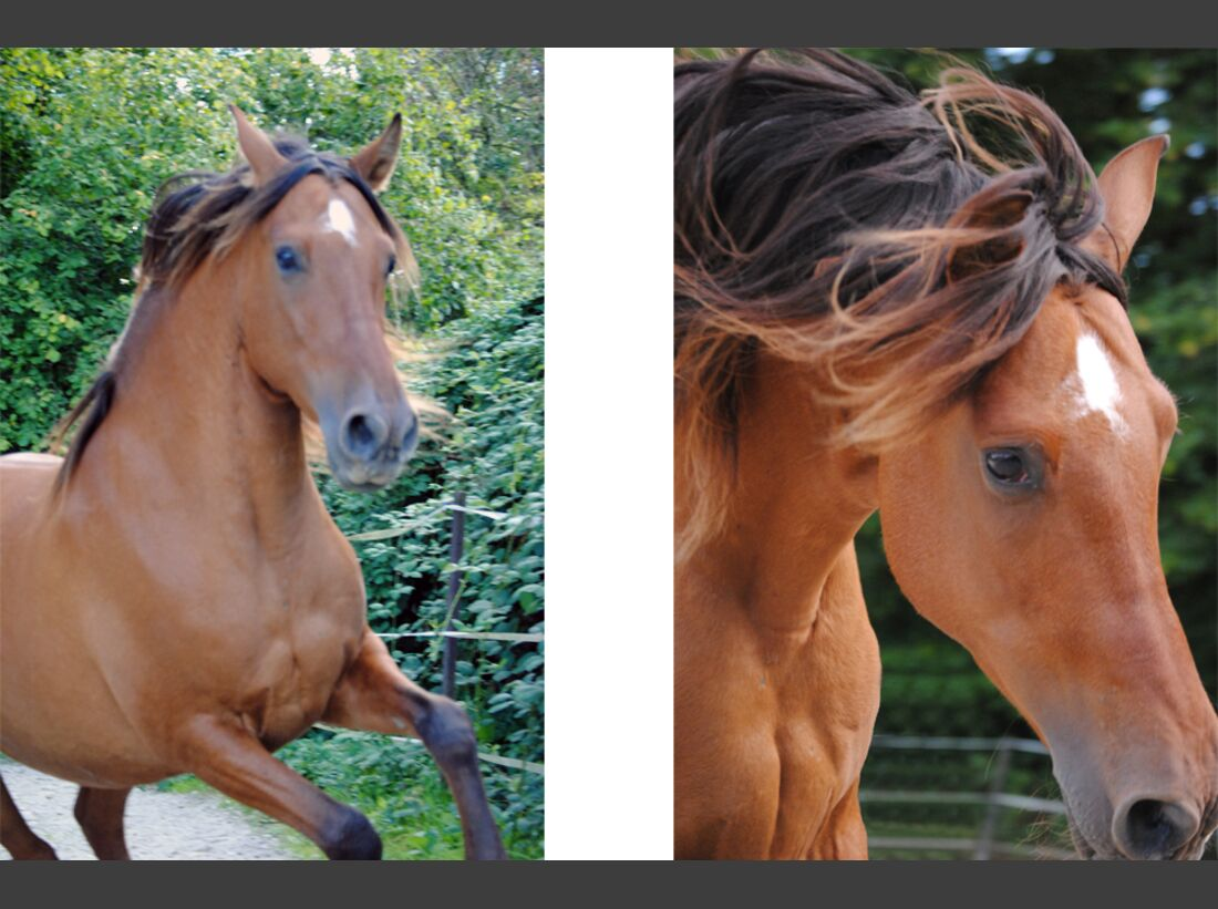 CAV Fan-Pferde Perfecto Ivonne