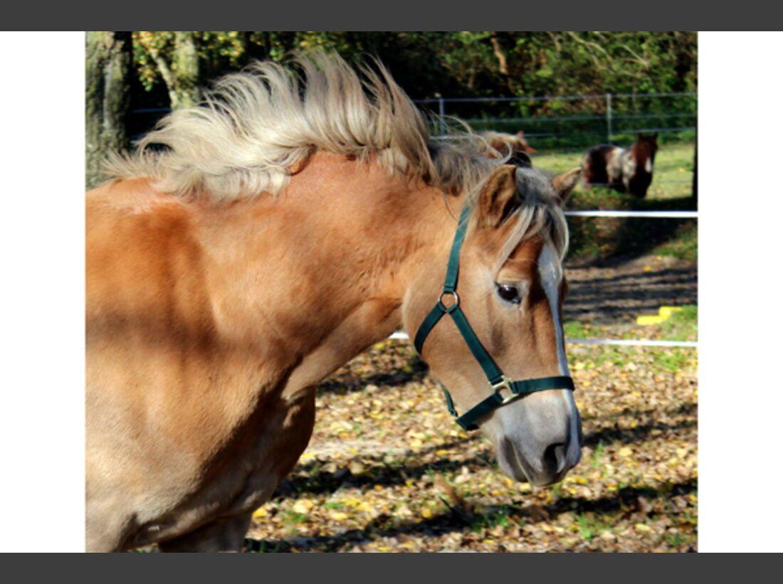 CAV Haflinger Pferderasse Rasse Leserfotos 51