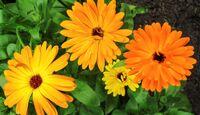 CAV Hausmittel Ringelblumen