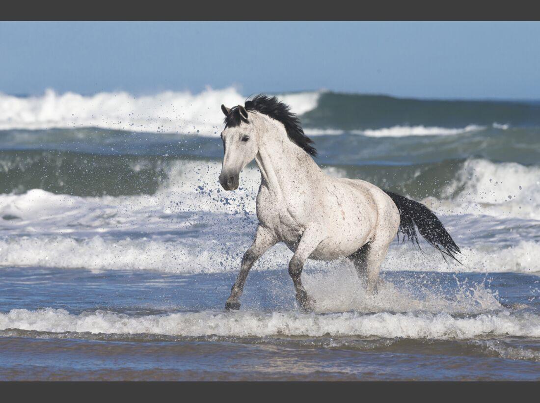CAV Nooitgedachter Rasse Pferderasse 12