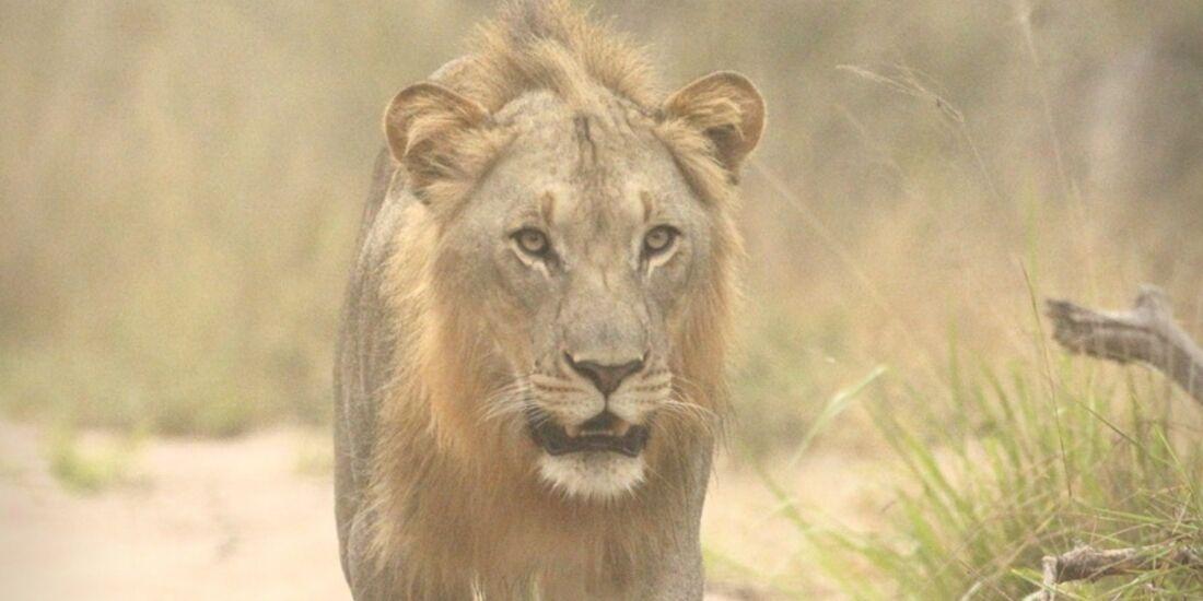 CAV Pegasus Afrika Löwen