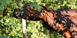 CAV Pferd frisst Apfel vom Baum - Pixabay