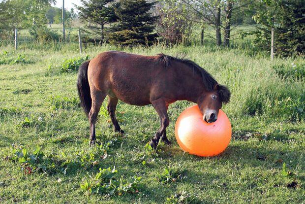 CAV Pferd spielt Ball Tasmate 4