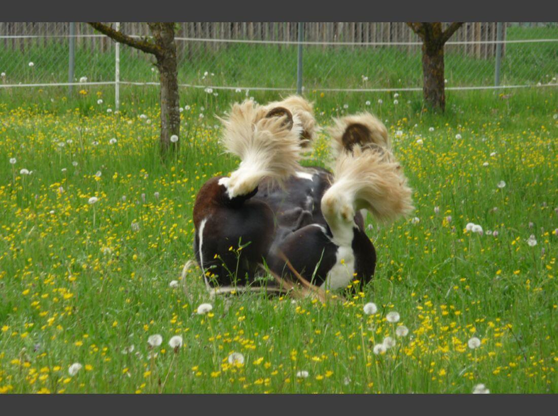 CAV Pferde wälzen Sigrun Blessing