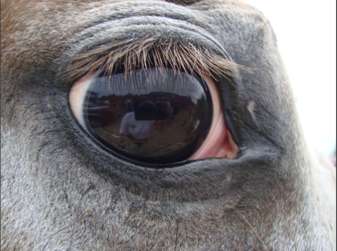 CAV Pferdeaugen Augen Appaloosa MS_69