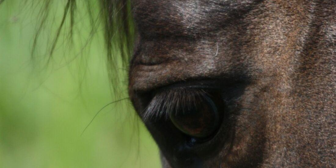 CAV Pferdeaugen Augen Araber MS_52