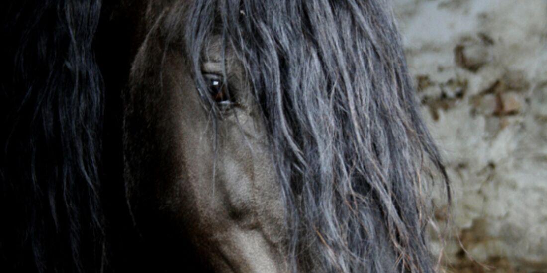 CAV Pferdeaugen Augen Friese MS_34