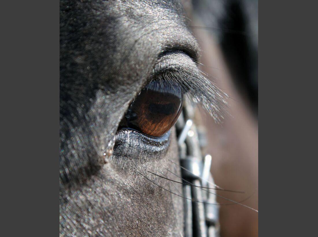 CAV Pferdeaugen Augen Paint MS _08