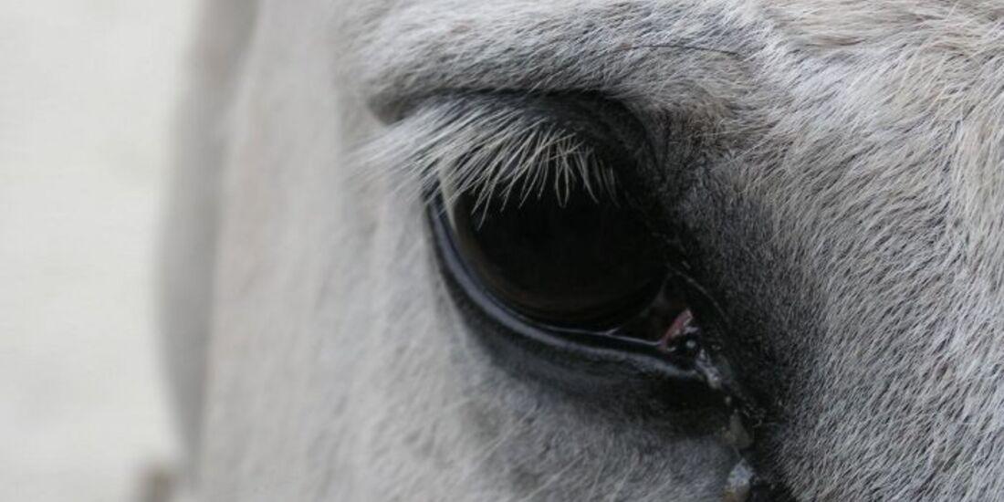 CAV Pferdeaugen Augen Trakehner MS _04