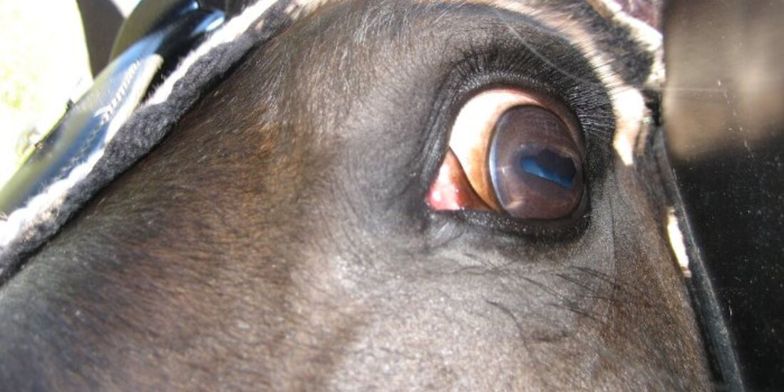 CAV Pferdeaugen Augen Warmblut MS_63