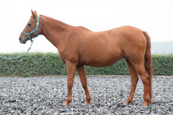 CAV Pferdegewicht 2