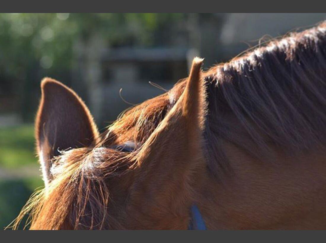 CAV Pferdeohren - Karolin Senftleben