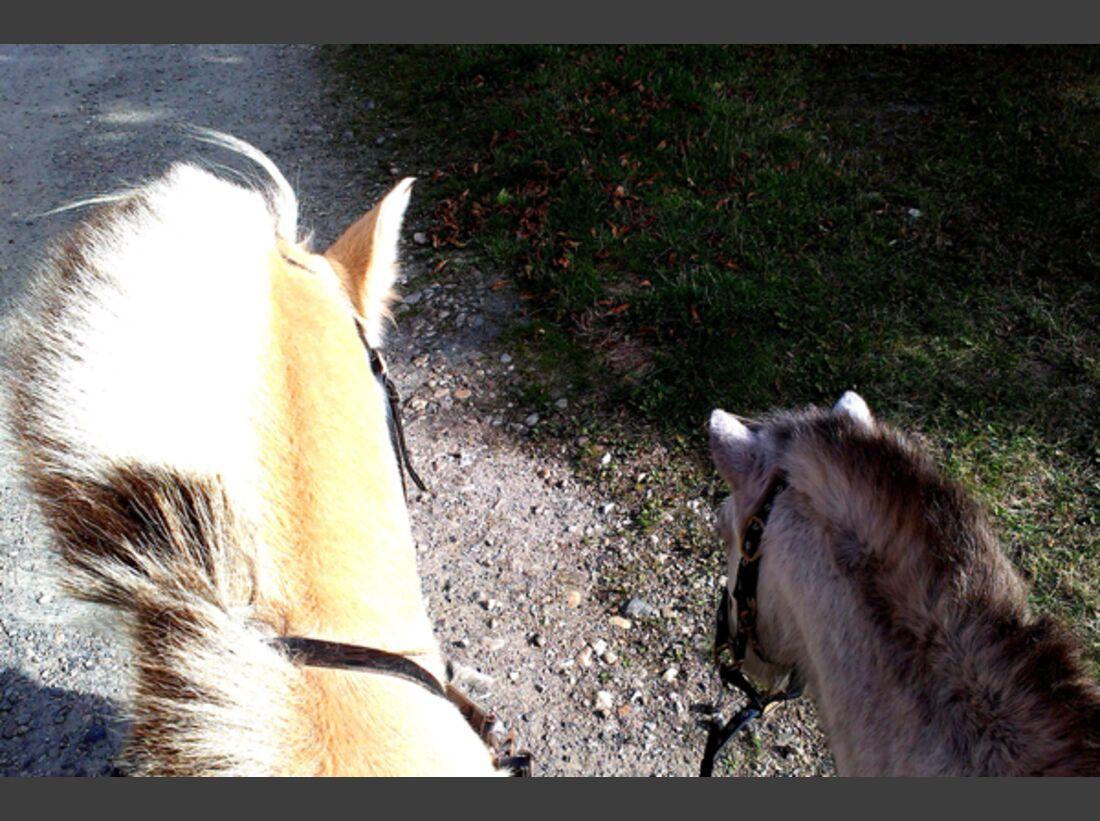 CAV Pferdeohren Linda Bokemüller