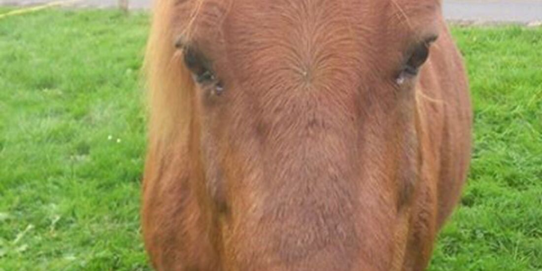 CAV-Pferdeohren-Nicole