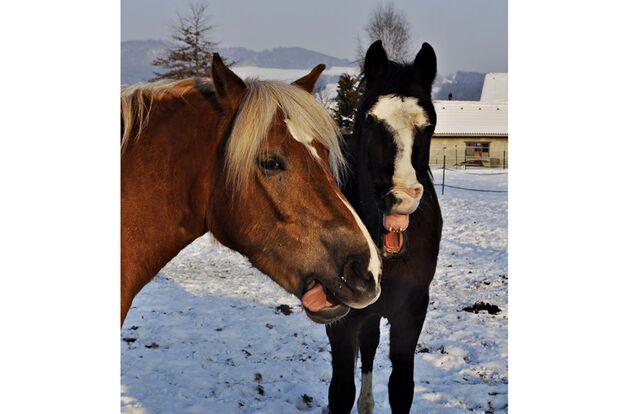 CAV Pferdezungen Christine Berger