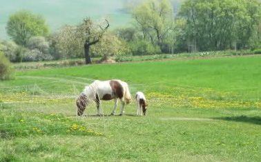 CAV Shetty Fohlen Pony