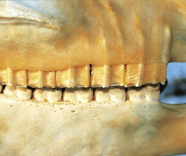 CAV Symptom-Lexikon Zahnprobleme