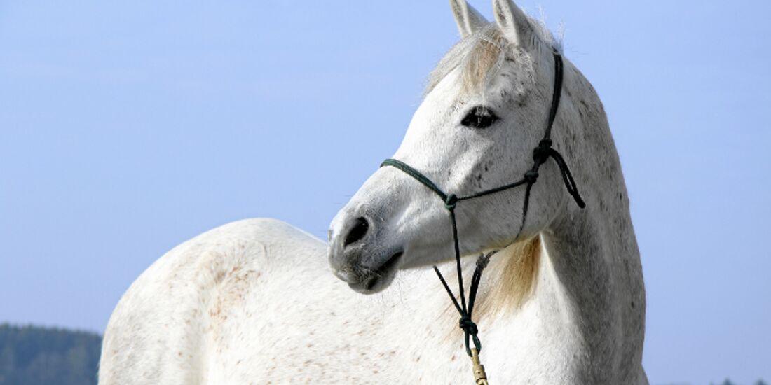 CAV Thoty Top Horse of the Year 2012 Pferde richtig fotografieren