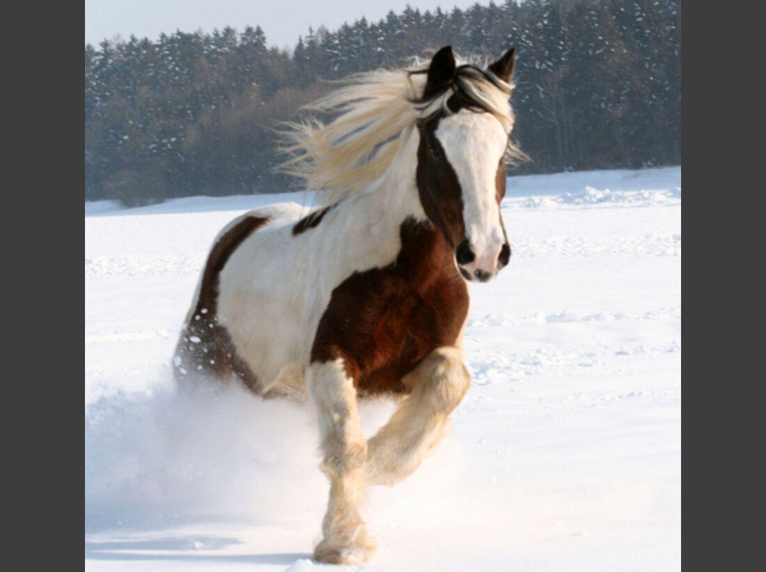 CAV Tinker Winter Pferde