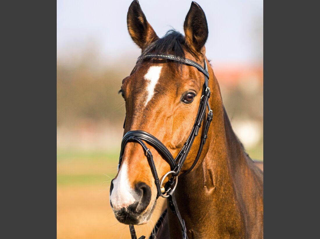 CAV alte Pferde Wallaby jung